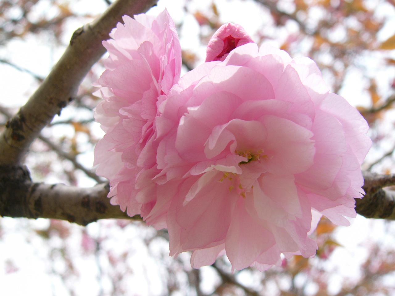 Names Of Flowers Blossom Sakura