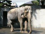 Elephas_maximus_bengalensis_hanako